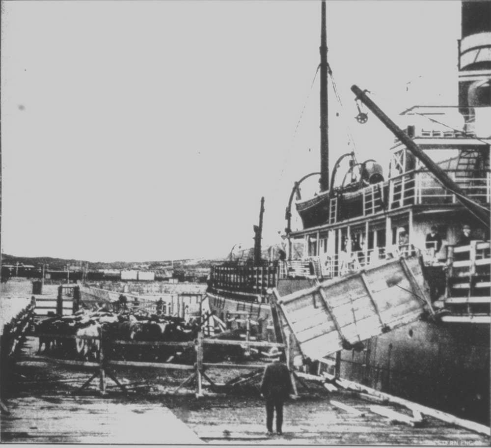 Unshipping cattle at Robb Jetty, 1911